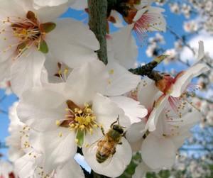 abeillepetit