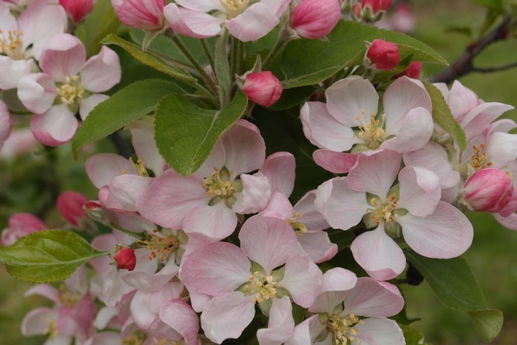 fleurspommiers2
